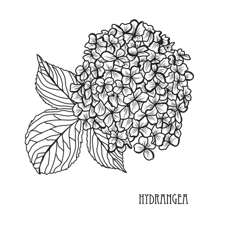 Decorative hydrangea flowers, design elements. Can be used for cards, invitations, banners, posters, print design. Floral background in line art style