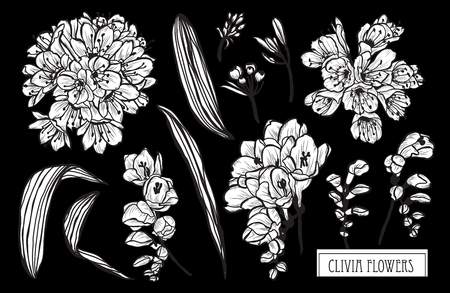 Decorative clivia flowers set, design elements. Can be used for cards, invitations, banners, posters, print design. Floral background in line art style
