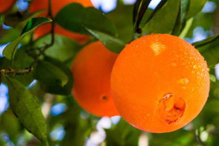 Homegrown navel oranges in California