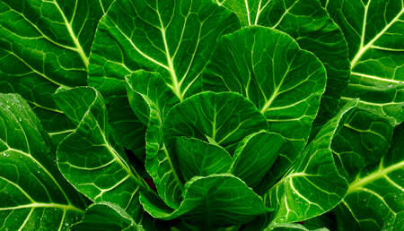 Fresh Collard Greens photo