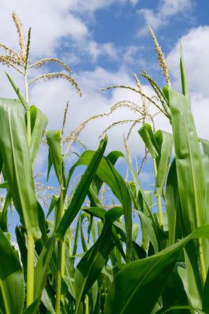 Iowa-Corn-Feld  Standard-Bild - 5357803