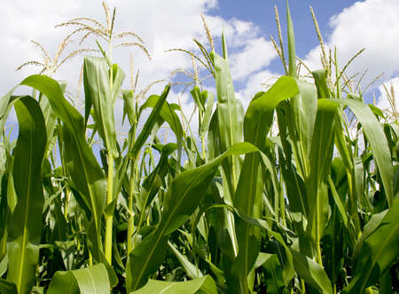 crop  stalks: Iowa Corn Field