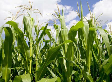 crop cultivation: Iowa Corn Field