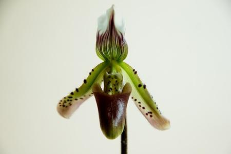 orchideae: Paphiopedilum