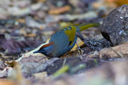 silver eared: Silver-eared Laughingthrush