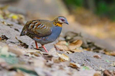 kuropatwa: Rufous-throated Partridge Zdjęcie Seryjne