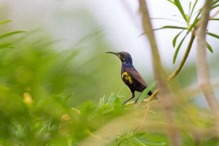 sunbird: Purple Sunbird Stock Photo