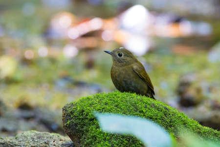 whitetailed: White-tailed Robin