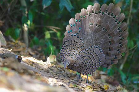 Grey Pheasant-Peacock