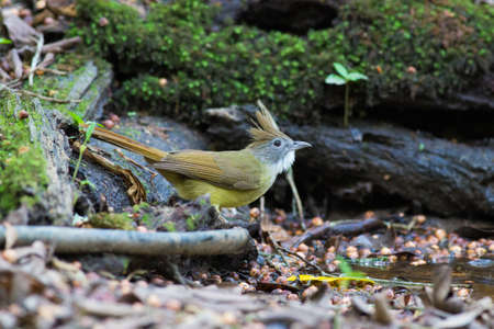 Puff-throated Bulbul in the pond