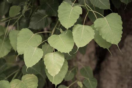 gaya: Buddha Leaf in Thai Temple