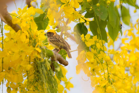 Baya Weaver and their nest on the yellow flower tree