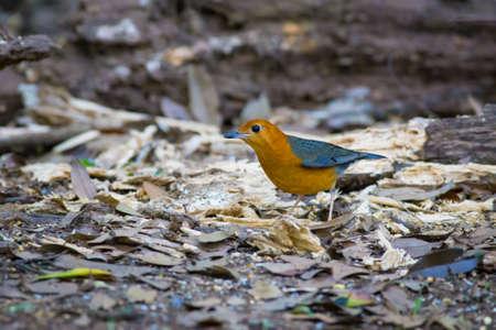 Orange-headed Thrush from Maewong National Park,Thailand Stock Photo