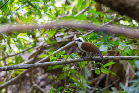 White-crested laughingthrush come for drinking and take a bath at water-well