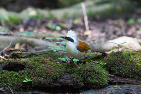 White-crested laughingthrush come for drinking and take a bath ar water-well