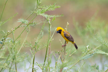 Asian golden weaver hold on the branch near his nest in Boraped lake,Thailand