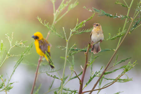 Asian golden weaver hold on the branch nearby their nest,Boraped lake Thailand Stock Photo