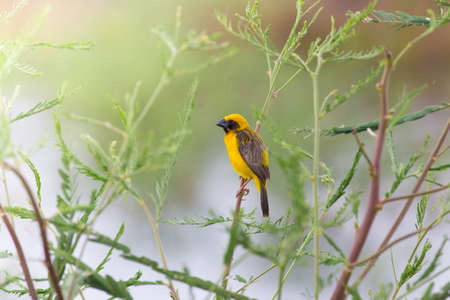 WEAVER: Asian golden weaver hold on the branch nearby his nest,Boraped lake Thailand
