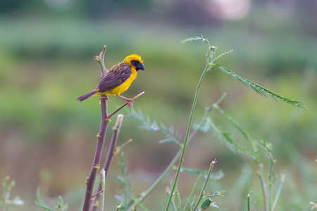 Asian golden weaver  hold on the branch bearby his nest ,Boraped Lake Thailand