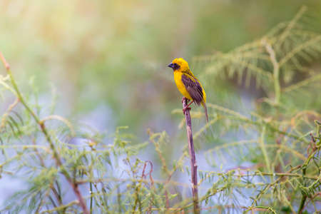 WEAVER: Asian golden weaver hold on the branch nearby his nest on the lake.