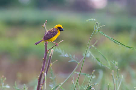 Asian golden weaver hold on the branch nearby his nest on the lake,Boraped Thailand