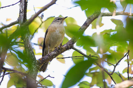 Grey-sided Thrush come for eating berry in every morning at Kiw Maeparn,National Park Thailand Stock Photo