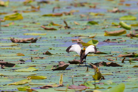 Pheasant-tailed jacana is the Queen of water birds with their beautiful feather and long fingers they can stand on aquatic plant nearby their simple nest that there are 2-3 eggs