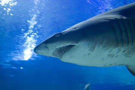 life threatening: shark swimming in water Stock Photo