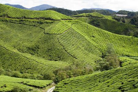 sg: Sg Palas tea estate Cameron Highlands
