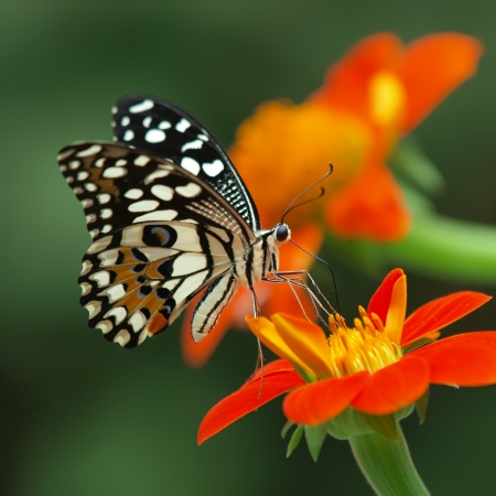 colorful butterfly: lime butterfly on a mexican sunflower       Stock Photo