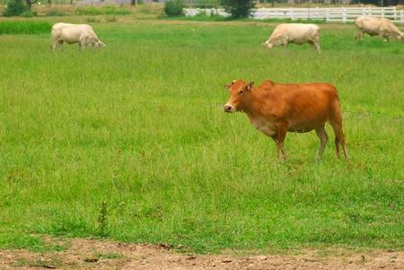 cow on green meadow field  photo