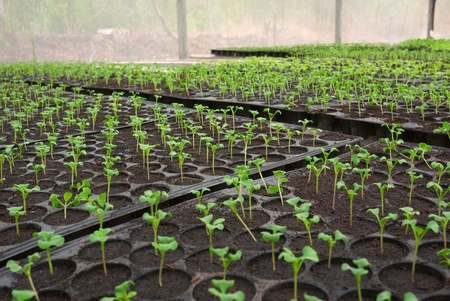 bed of seedlings from nursery farm  photo