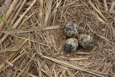bird nest with three eggs  photo