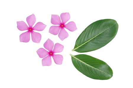 periwinkle flower and leaf isolated over white background