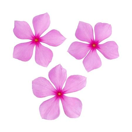 periwinkle flower isolated over white background  Reklamní fotografie