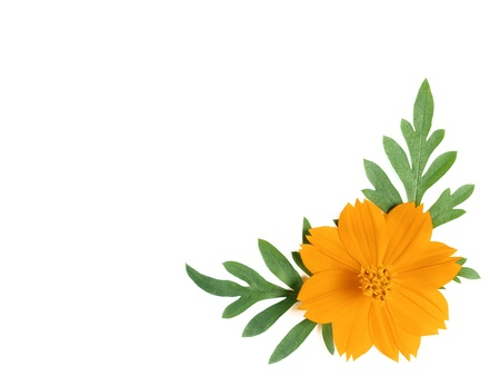 yellow cosmos flower on white background