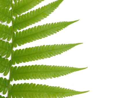 green fern leaf isolated on white background