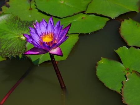 purple lotus flower blooming  Reklamní fotografie