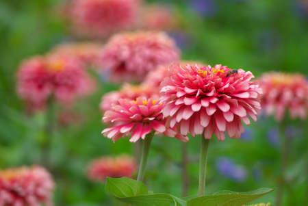 zinnia flower blooming in garden