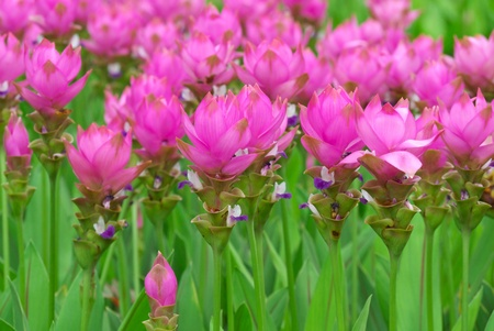 siam tulip flower blooming in garden Reklamní fotografie