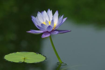 purple lotus flower blooming in garden Reklamní fotografie