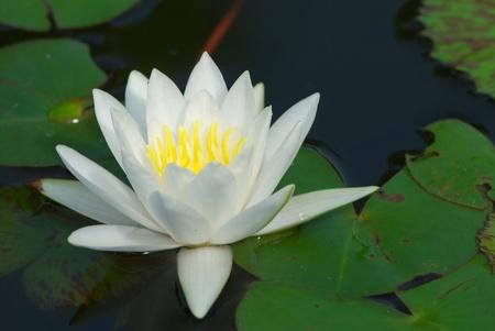 white lotus flower blooming in garden Reklamní fotografie