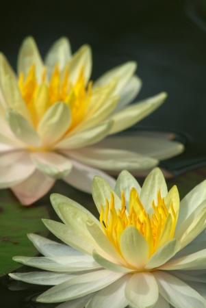 close up of lotus blooming in garden