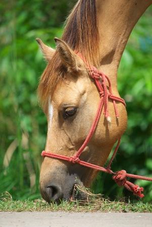 headshot of horse eating grass Reklamní fotografie