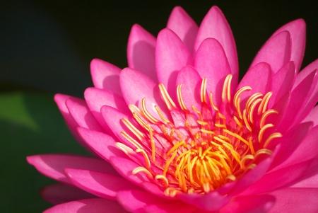 close up of pink lotus flower blooming in garden