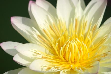 close up of lotus flower blooming in garden Reklamní fotografie