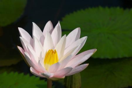 lotus flower blooming in garden