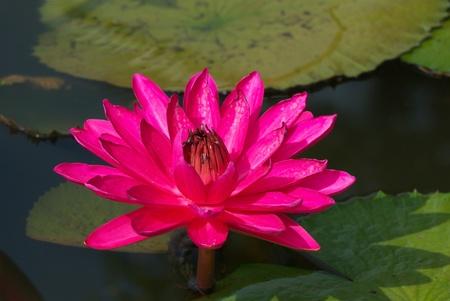 pink lotus flower blooming in garden  Reklamní fotografie