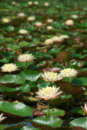 lotus flower blooming with reflection