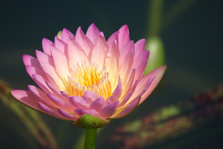 close up of pink lotus flower blooming in garden  Reklamní fotografie